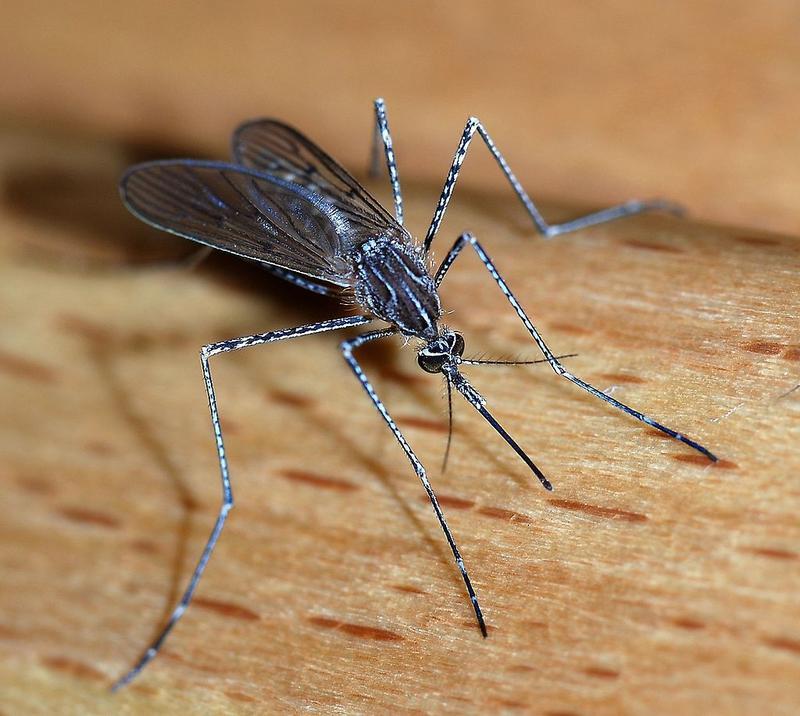 Le zanzare non trasmettono HIV